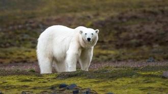 ホッキョク熊 ©Stefan Dall - Hurtigruten